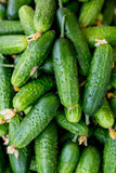 Cucumbers. Cucumber harvest. Many green cucumbers. Cucumber background. Stock Photo