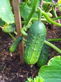 Cucumbers. Cucumis satimus, cucumber, gardening Royalty Free Stock Images