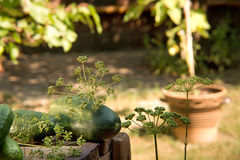 Cucumbers and dill Royalty Free Stock Photography