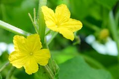 Cucumbers flowers Royalty Free Stock Photography