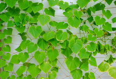 Cucumbers foliage Royalty Free Stock Images