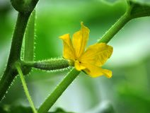 Cucumbers grow in polycarbonate greenhouses. Cucumbers with fruits and leaves grow in polycarbonate greenhouses Royalty Free Stock Photography