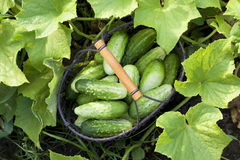 Cucumbers in the garden Stock Photos