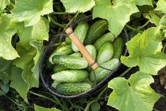 Cucumbers in the garden Stock Photos