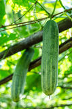 The cucumbers in the garden. Stock Image