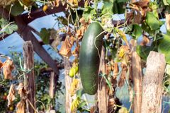 Cucumbers in a garden in the village. Scourge of cucumbers on the grid. The bed of cucumbers in the open air. Free space. Cucumbers in a garden in the village Stock Images