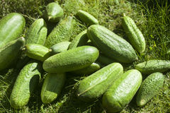 Cucumbers on grass. A lot of green cucumbers on grass Stock Images