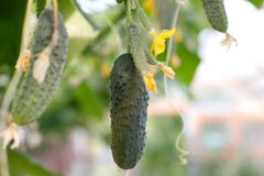 Cucumbers grow in the greenhouse. Cucumber stems with fruits of varying degrees of maturity, fading yellow flowers, lush foliage,. Cucumbers grow in the stock image