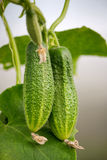 Cucumbers  growing Royalty Free Stock Images