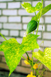 Cucumbers growing in the garden Stock Image