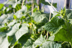 Cucumbers growing in a garden. Green leaves and flowers Royalty Free Stock Photos