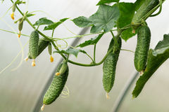 Cucumbers growing. In a green house Royalty Free Stock Photography