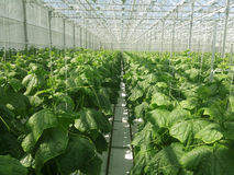 Cucumbers growing. In a greenhouse Royalty Free Stock Images