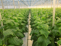 Cucumbers growing. In a greenhouse Stock Image