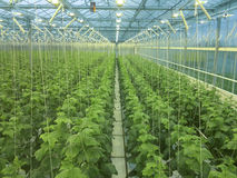 Cucumbers growing. In a greenhouse Royalty Free Stock Photo