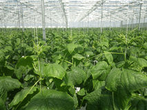 Cucumbers growing. In a greenhouse Stock Photo