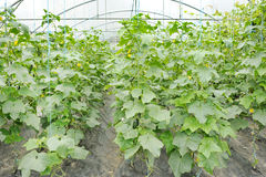 Cucumbers growing in a greenhouse. Long smooth green cucumbers growing in a greenhouse Stock Photo