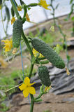 Cucumbers growing in a greenhouse_6. Cucumbers ripening in a greenhouse on natural soil and drag on trellis Stock Image
