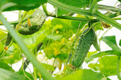 Cucumbers growing in a greenhouse. Cucumbers under leaves growing in a greenhouse Royalty Free Stock Images