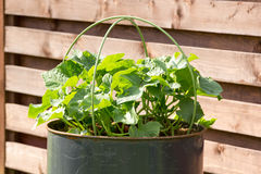 Cucumbers growing in metal barrel. Metal barrel with cucumbers growing in it Royalty Free Stock Photos