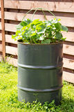 Cucumbers growing in metal barrel. Metal barrel with cucumbers growing in it Stock Photos