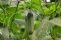 Cucumbers. Growing on a vine Stock Photos