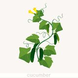 Cucumbers growing on vines Stock Images