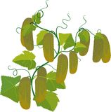 Cucumbers growing on vines Royalty Free Stock Images