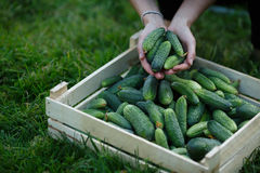 Cucumbers harvest Royalty Free Stock Image