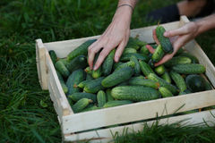 Cucumbers harvest Royalty Free Stock Images