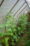 Cucumbers in hothouse Royalty Free Stock Photo