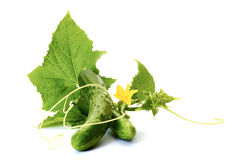 Cucumbers with leaves on white. Stock Image