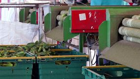 Cucumbers for pickling in the production plant stock footage