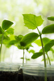 Cucumbers plant seedling. Cucumbers seedling potted on the window Royalty Free Stock Image