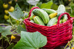 Cucumbers from the raised bed, harvest Royalty Free Stock Photo