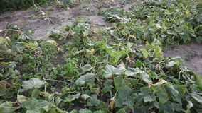 Cucumbers recorded in advance. Vegetable field stock footage