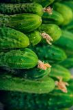Cucumbers in summer. Fresh wet pickle ready for canning. Cucumbers for salads or canning. Cucumbers in countryside. Summer vegetab