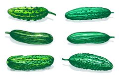 Cucumbers table color sketch. Vector hand drawn sketch of green cucumbers. Colored illustration isolated on white background vector illustration