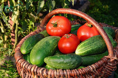 Cucumbers and tomatoes in a basket Royalty Free Stock Image