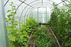 Cucumbers and tomatoes grow in the modern solar arc polycarbonate greenhouse.  Stock Photography