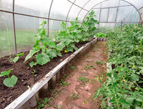 Cucumbers and Tomatoes Growing in a Greenhouse. Cucumbers and tomatoes growing in a small vegetable garden greenhouse Royalty Free Stock Image