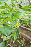 Cucumbers In The Vegetable Greenhouse Stock Images
