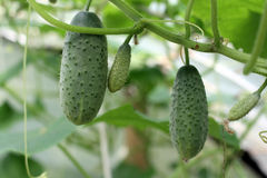 Cucumbers On The Vine Stock Photography