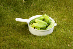 Cucumbers in a white pot on the grass Stock Photos