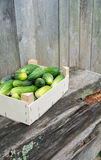 Cucumbers in wooden box. Fresh eco cucumbers in wooden box in the garden Stock Image
