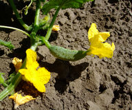 Cucumder bloms以黄色在庭院里 免版税图库摄影