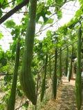 Cucumerina de Trichosanthes Fotos de archivo libres de regalías