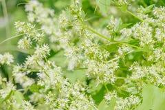 Cucumis gatunki - dziki dekoracyjny ogórkowy kwitnienie Obrazy Royalty Free