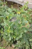 Cucumis melo var. reticulatus, Galia melon, Sarda Stock Photos