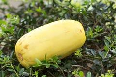 Cucumis melo varietà makuwa fotografia stock libera da diritti